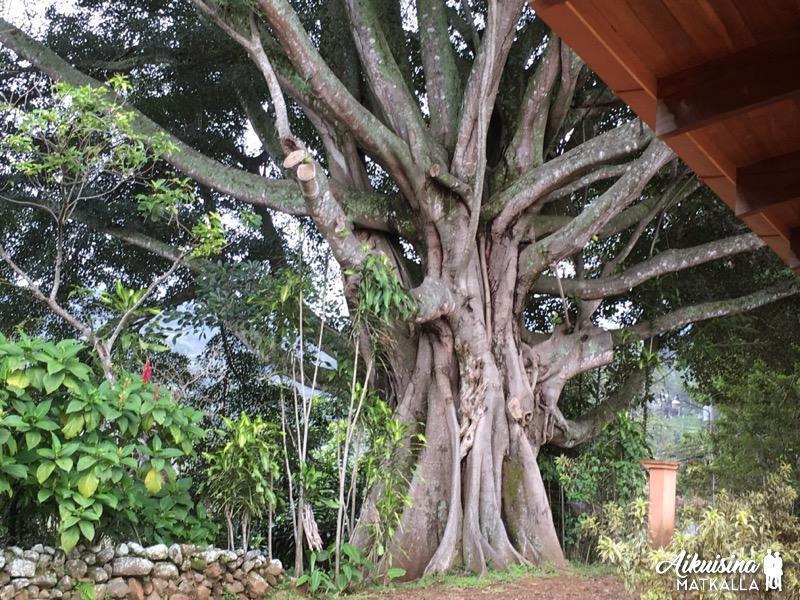 Ikiaikainen Higuerón puu